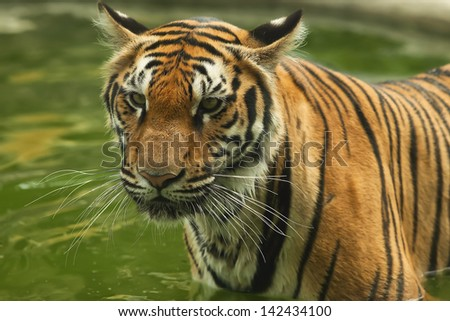 Tigers are wild animals in Thailand.
