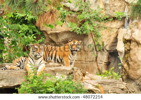 Tigers at St Louis Zoo - stock photo