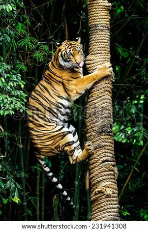 Tigers climbing tree. - stock photo