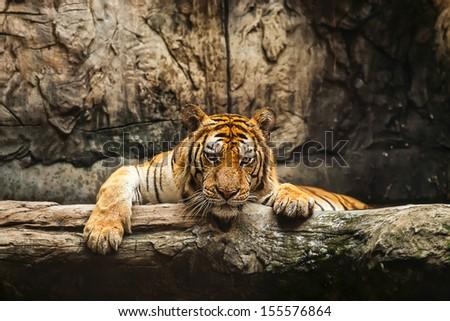 Tigers feeding. - stock photo