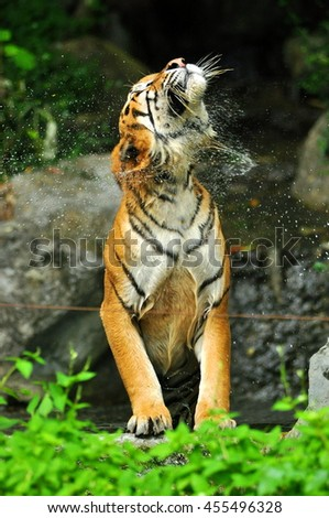 tigers flick hairs on the body after swimming in zoo thailand .