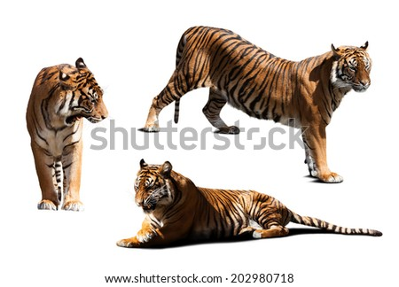 tigers. Isolated  over white background with shade