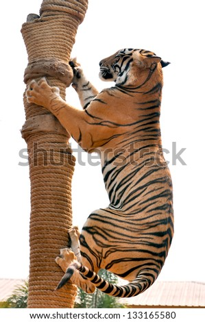 Tigers, like children and dogs, can be taught to modify their behavior through the skilled application of reward and discipline. - stock photo