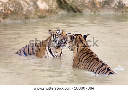 tigers looking to each other and play in water - stock photo