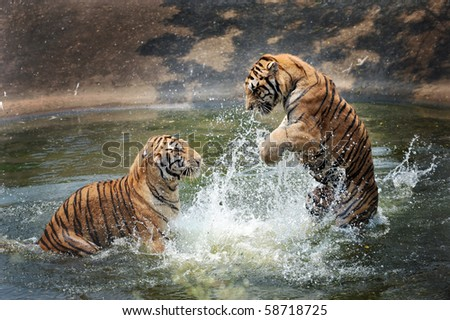 tigers play in the water - stock photo
