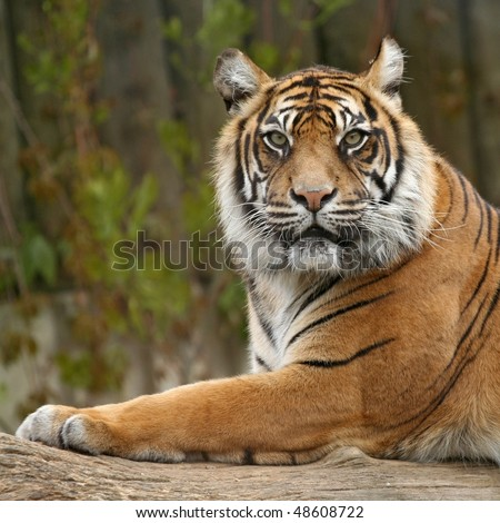 Tigers profile - stock photo