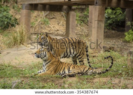 Tigers roar,young sumatran tiger walking  and blur foreground,background,khonkaen zoo Thailand - stock photo
