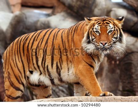 Tigers stare - stock photo