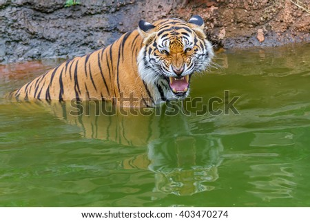 Tigers swim in the river to cool off. - stock photo