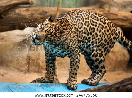 Tigers Swimming,jaguar. - stock photo