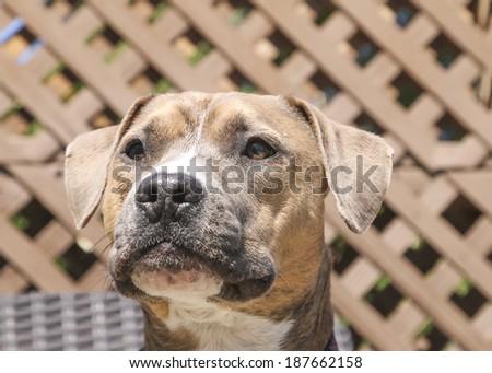 Tight head shot of a pitbull - stock photo