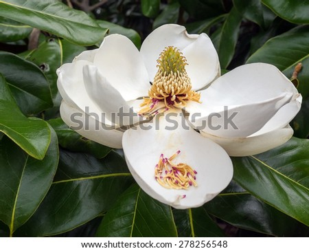 TIght shot of a huge White Magnolia Blossom against the dark green tree leaves. In detail view of reproductive organs of the plant.