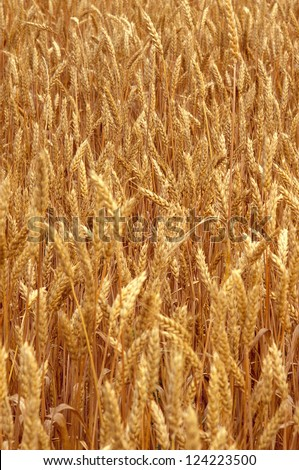 Tight shot of wheat ready to harvest