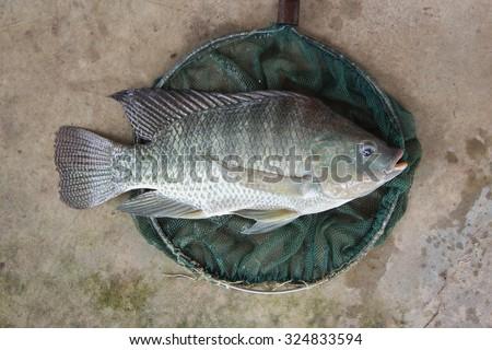 Tilapia big size in fishing net - stock photo