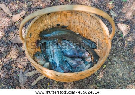 Tilapia fish in basket.Full of raw fresh freshwater fish. - stock photo