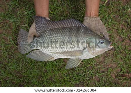 Tilapia (Oreochromis niloticus) big size in hand - stock photo