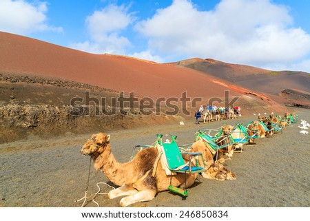 TIMANFAYA NATIONAL PARK, LANZAROTE ISLAND - JAN 14, 2015: Camels in Timanfaya National Park waiting for tourists before taking them for a ride to volcanic mountains. Camel trek is popular attraction. - stock photo