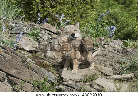Timber wolf and cubs at den site in Colorado - stock photo