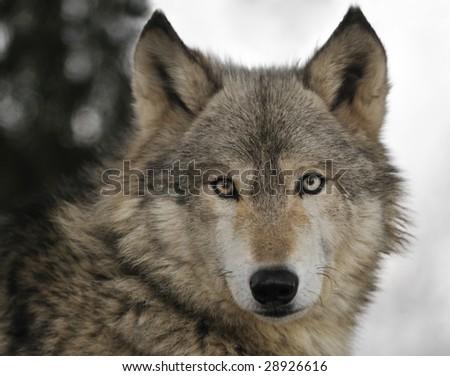 Timber Wolf (Canis lupus) Portrait - captive animal - stock photo