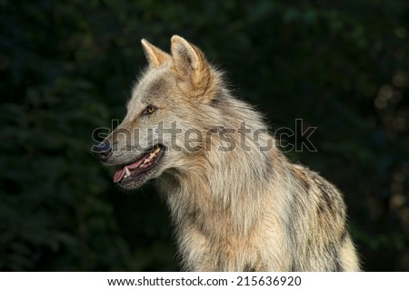Timber Wolf / Gray Wolf / Grey Wolf - stock photo