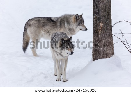 Timber wolf in a winter scene - stock photo