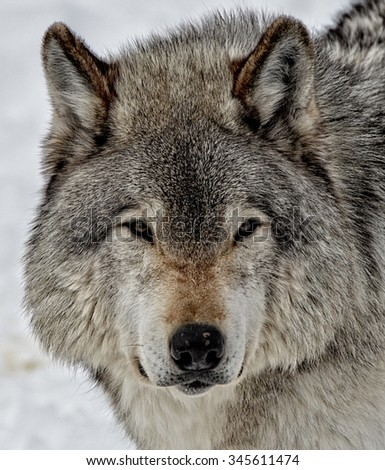 Timber Wolf in snow covered forest - stock photo