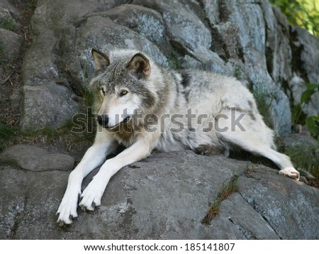 Timber Wolf laying on rocks