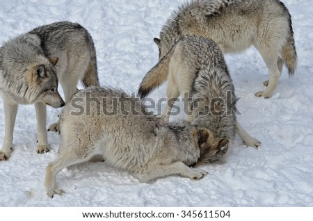 Timber Wolf pack on snow covered  ground - stock photo