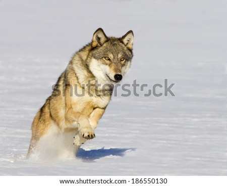 Timber wolf running in snow - stock photo