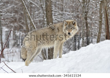 Timber Wolf standing in snow covered  forest - stock photo