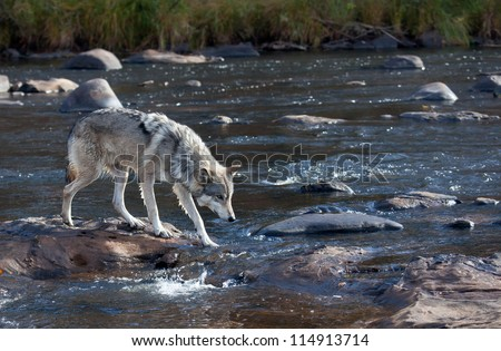 Timber wolf standing on rocks in a flowing river, hunting for food.  Autumn in Minnesota