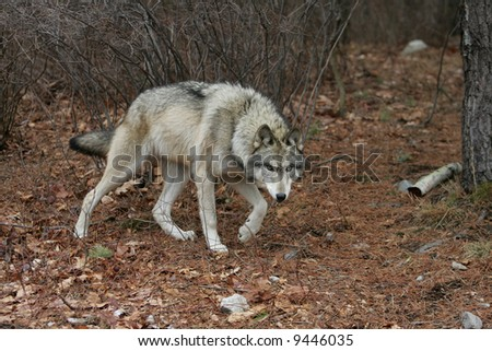 Timber Wolf Walking in Forest - stock photo