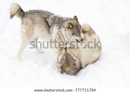 Timber wolves (Canis lupus) playing in the winter snow in Canada