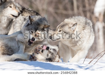 Timber Wolves in Winter - stock photo
