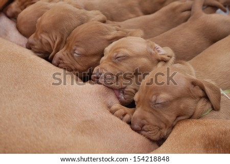 time for food, feed Hungarian hound puppies, breastfeeding, vizsla - stock photo