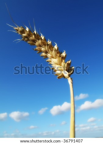 Time for harvest - blue and yellow, sunny day. - stock photo