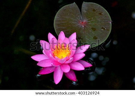 """open lotus"" stock photos, royaltyfree images  vectors, Beautiful flower"