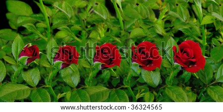 Time lapse sequence of a red rose opening. - stock photo