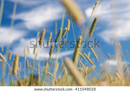 Timothy in meadow at summer - stock photo