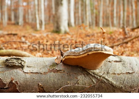 Tinder fungus and autumn forest  - stock photo