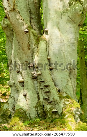 Tinder fungus (Fomes fomentarius), also known as false tinder fungus, hoof fungus, tinder conk, tinder polypore or ice man fungus. Here on standing beech tree. - stock photo
