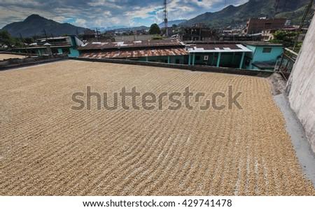 TINGO MARIA, PERU - JUNE 22: The drying of coffee beans in courtyard of Naranjillo cooperative in Tingo Maria, Peru 2011 - stock photo