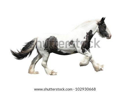 Tinker horse (irish cob) on a white background - stock photo