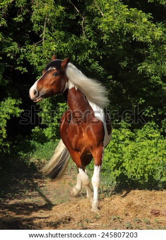 Tinker Pony horse - galloping in bushes