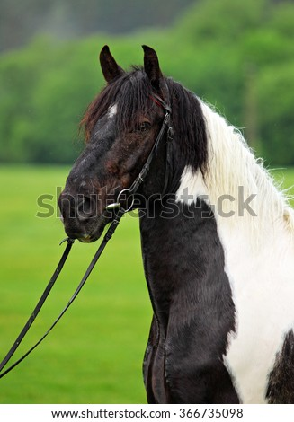 Tinker pony in summer background - stock photo
