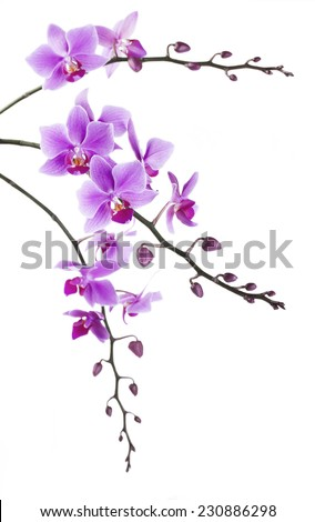 tint purple Dendrobium orchid on white background - stock photo