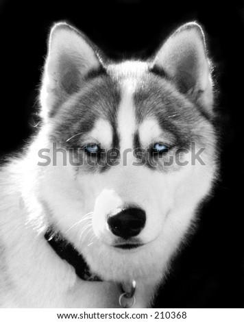 Tinted Black and white photo of male Husky, blue eyes