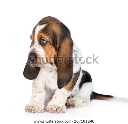 Tiny basset hound puppy looking away. isolated on white background - stock photo