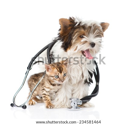 Tiny bengal cat and Biewer-Yorkshire terrier puppy with stethoscope on their neck. isolated on white background - stock photo