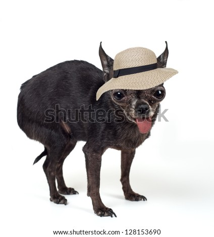 Tiny black chihuahua standing with tongue hanging out wearing a tan hat with a black ribbon on it. - stock photo
